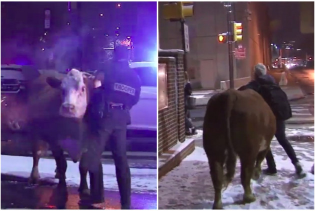 Cow Escapes Old City Nativity Scene Twice, Makes a Run for It on I-95