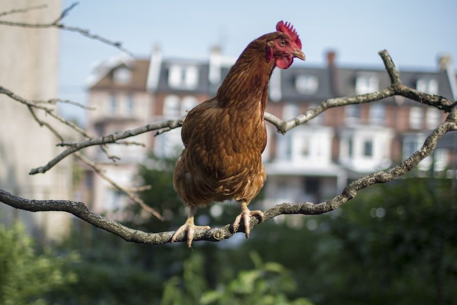 Philadelphia Backyard Chickens May Soon Be Legal Due to